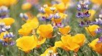 Якими цілющими властивостями володіють польові квіти?