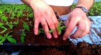 Пікіровка помідорів: особливості та нюанси