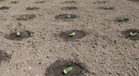 Щоб гарбуз вродив або як правильно його садити?