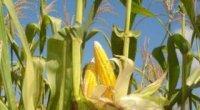 Секрети вирощування кукурудзи на дачі
