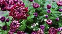 Невибагливі багаторічники, квітучі все літо