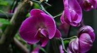 Орхідеї Фаленопсис: догляд в домашніх умовах