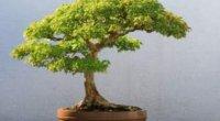 Долучаємося до мистецтва Сходу: робимо дерево бонсай власноруч в домашніх умовах