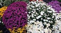 Кулясті хризантеми: вирощування та догляд