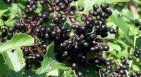 Корисні властивості ягід чорної бузини