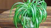 Хлорофітум: догляд після покупки і пересадки, види, вирощування, розмноження
