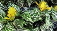 Афеляндра: як доглядати за квіткою в домашніх умовах?