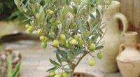 Чи можна виростити оливкове дерево на підвіконні