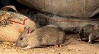 Як боротися з мишами: позбавляємося від маленьких шкідників