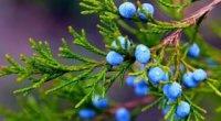 Ягоди ялівцю: лікувальні властивості і протипоказання