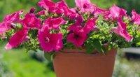 Петунії: догляд та вирощування, полив під час цвітіння, розмноження, прищипування