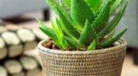 Особливості посадки алое без кореня і вирощування в кімнатних умовах