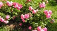 Роза Леонардо да Вінчі: особливості вирощування