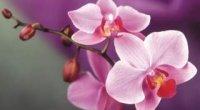 Які бувають різновиди домашніх орхідей