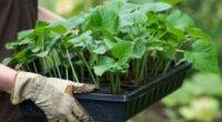 Як пікірувати огірки, і чи треба це робити?
