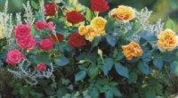 Пересадка троянд: сам процес і відповідний час