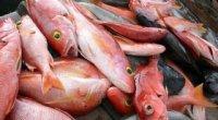 Морський окунь: користь і шкода