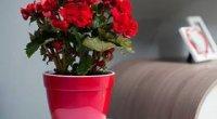 Догляд за бегонією в домашніх умовах, вирощування в горщику, пересадка, розмноження