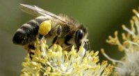 Пилок бджолиний: корисні властивості, як приймати продукт?