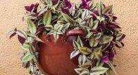 Традесканція: догляд в домашніх умовах, цвітіння, вирощування з живців