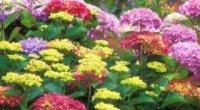 Невибагливі довгоквітучі квіти багаторічники для саду, які вибрати?