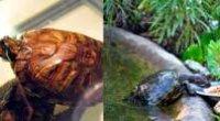 Чим годувати червоновухих черепах?