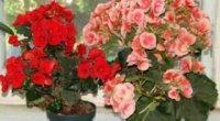 Догляд та вирощування бегонії кімнатної: утримання, цвітіння, розмноження