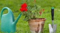 Герань: догляд в домашніх умовах, стимуляція цвітіння, правила обрізки