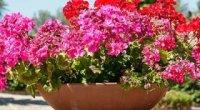 Герань тюльпаноподібна: догляд, особливості цвітіння та розмноження