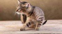 Ефективні народні засоби від бліх у кішок