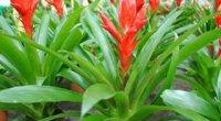 Врієзія: догляд в домашніх умова, цвітіння, правила поливу, пересадки та обрізки