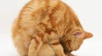 Симптоми і лікування піометри у кішки: терапія гормональними препаратами