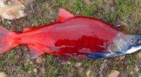 Що за риба – нерка? Де живе і чим корисна?