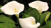 Зантедескія (кала): особливості вирощування, пересаджування та підживлення