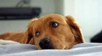 Ентерит у собак: симптоми і лікування