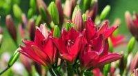 Пересадження лілій навесні і восени