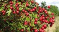 Плоди глоду: корисні властивості і протипоказання