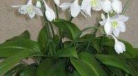 Догляд за еухарісом крупноквітковим в домашніх умовах