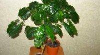 Догляд за кавовим деревом в домашніх умовах