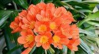Клівія: догляд в домашніх умовах, цвітіння, розмноження, хвороби і шкідники