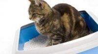 Кров у калі у кота: причини, лікування