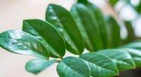 Заміокулькас: догляд в домашніх умовах, цвітіння, вирощування з листа
