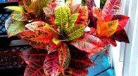 У кротона сохнуть і обпадають листя: чому і що робити?