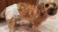 Памперси для собак: як вибрати розмір і зробити своїми руками