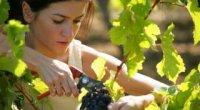 Як правильно обрізати виноград восени і навесні?