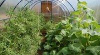 Сусідами будемо! Які овочі можна і які не можна садити поруч?