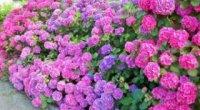 Гортензія: все про догляд за цією квіткою