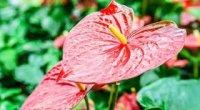 Антуріум: догляд в домашніх умовах, пересадка, розмноження і цвітіння