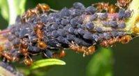 Як позбутися від мурашок на городі