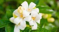 Мурайя: вирощування з насіння, пересадка, розмноження і чому не цвіте